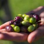 olive harvest 9
