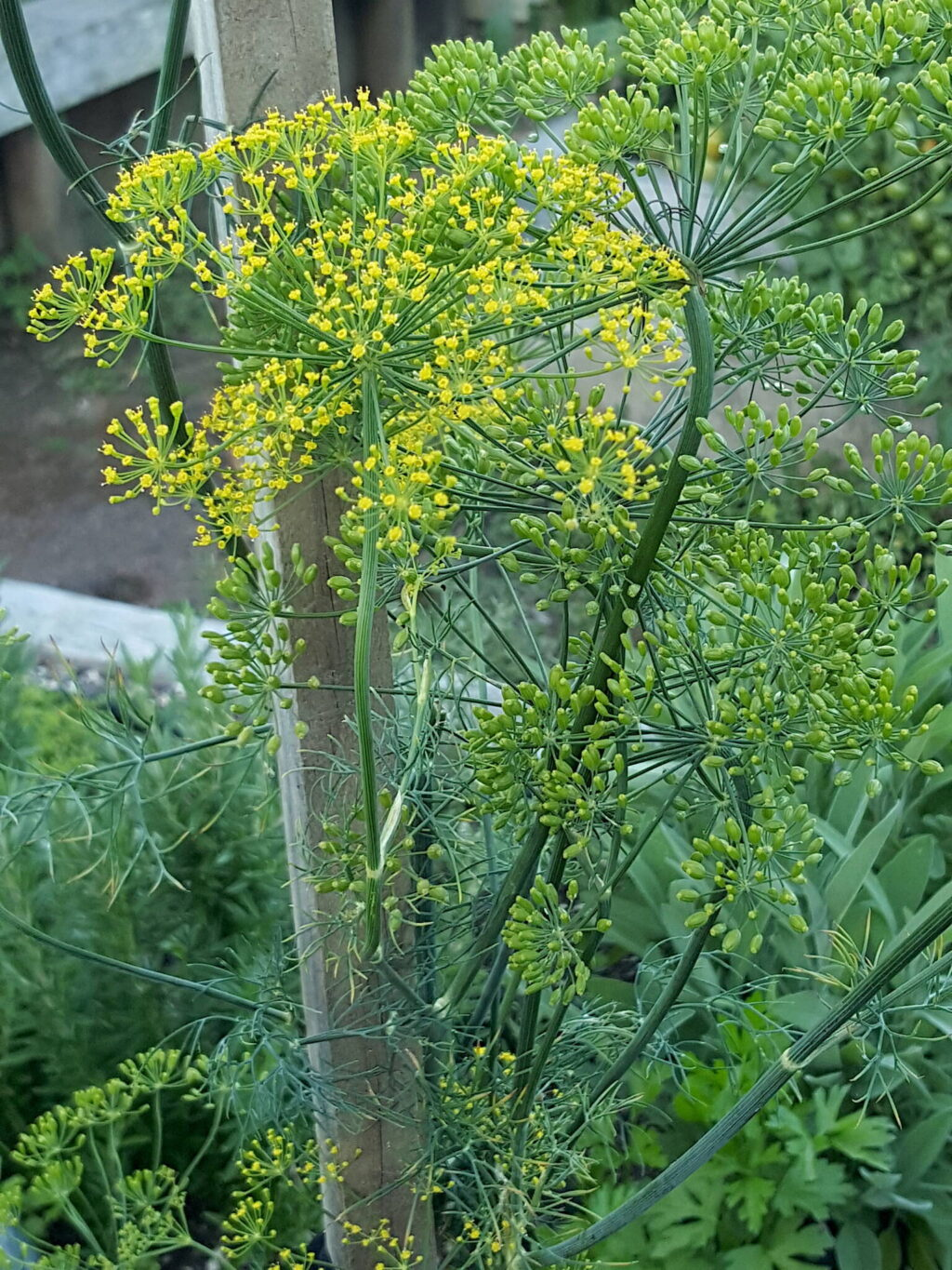 Dill flowers & seeds