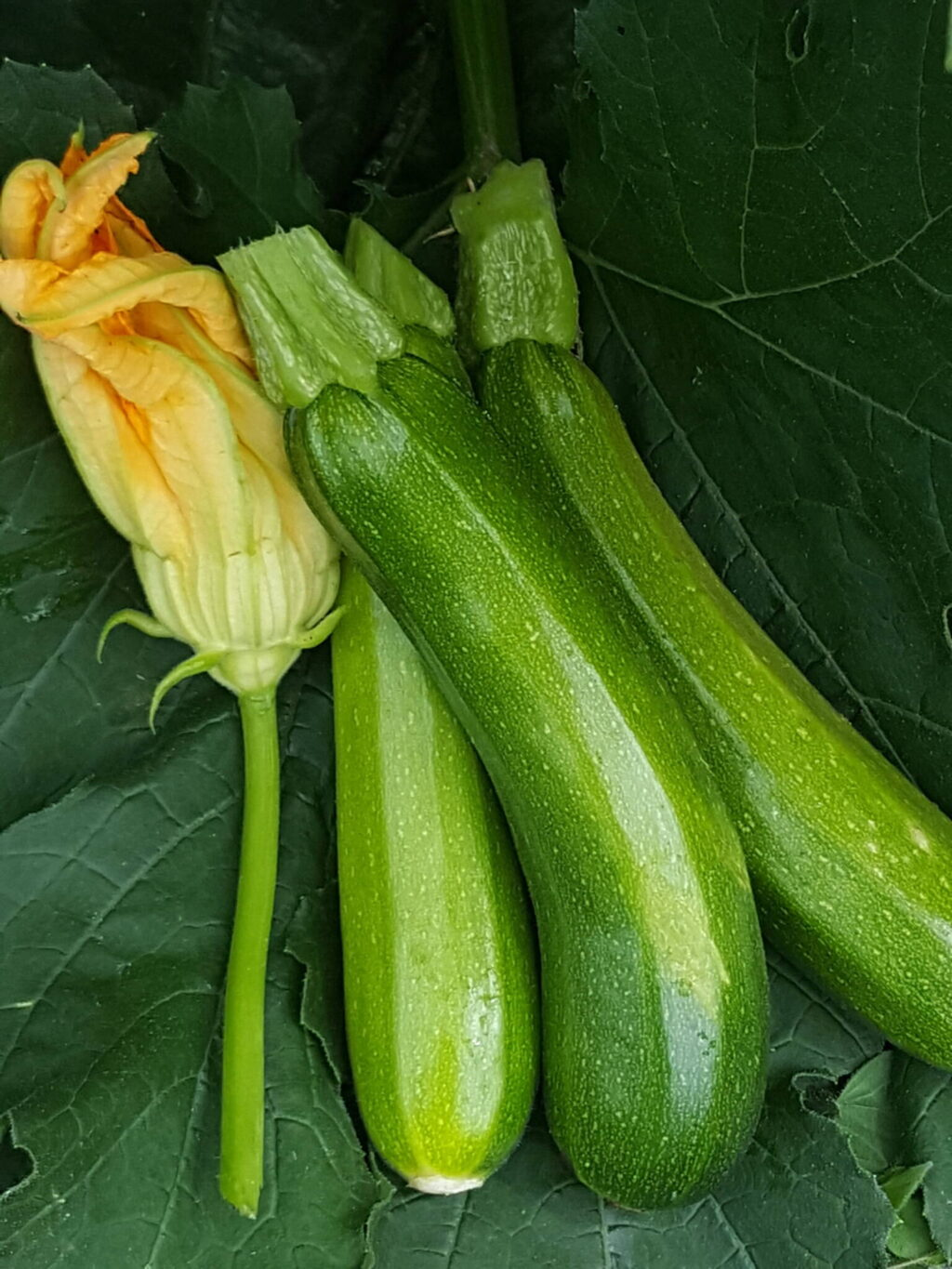 How I grew a monster zucchini plant