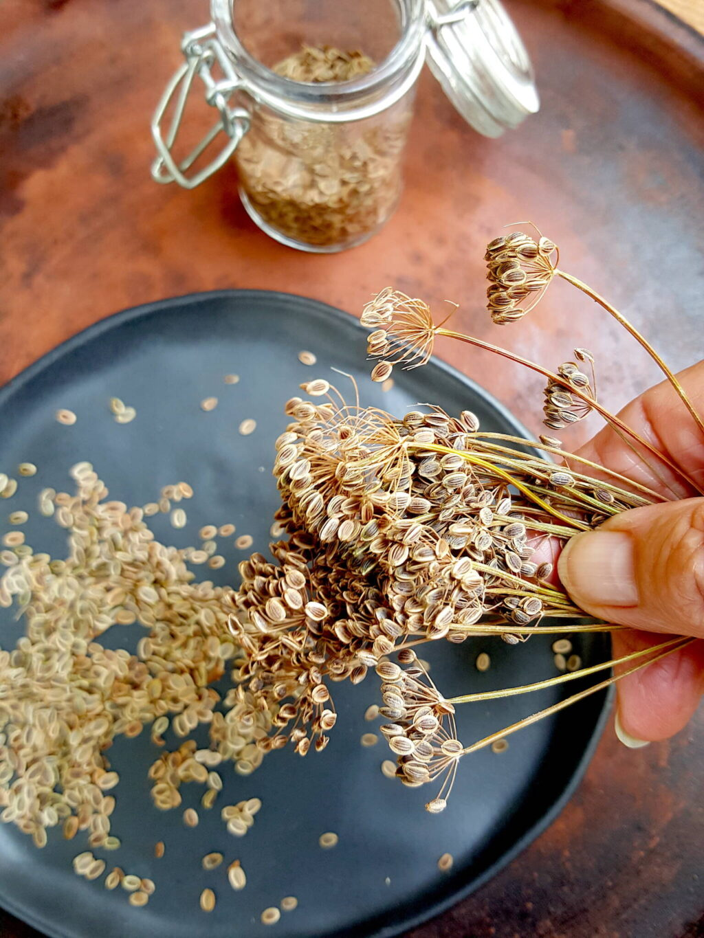 Harvesting dill seeds