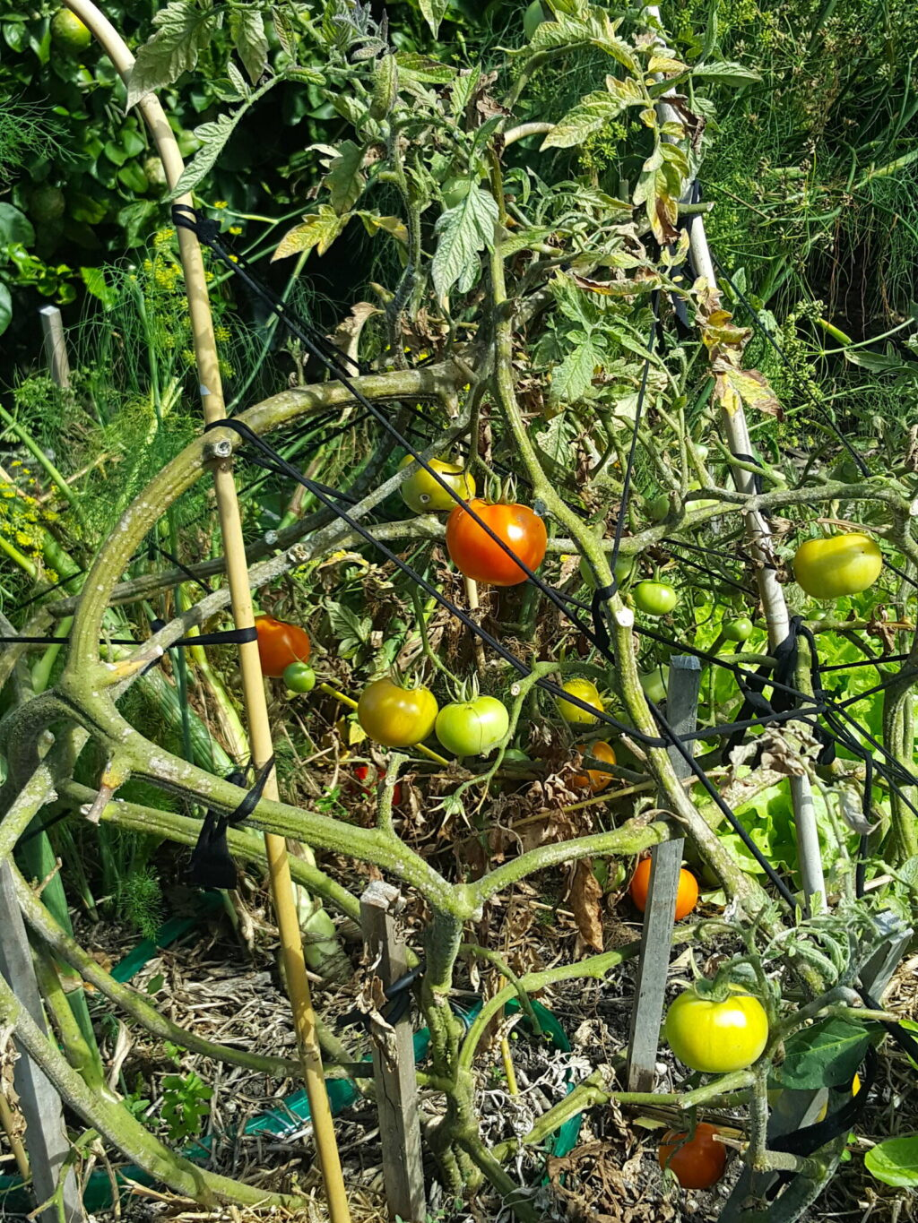 End of the summer tomatoes