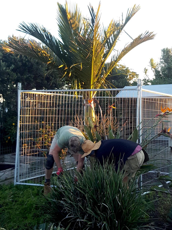 Digging out bird of paradise